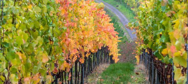 vinogradnik-viderjka-na-drojevom-osadke